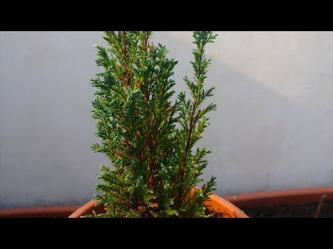 Chamaecyparis (False Cypress) Bonsai Tree