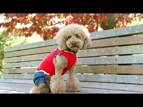 The little puppies of Toy Poodle | Poodle Puppies