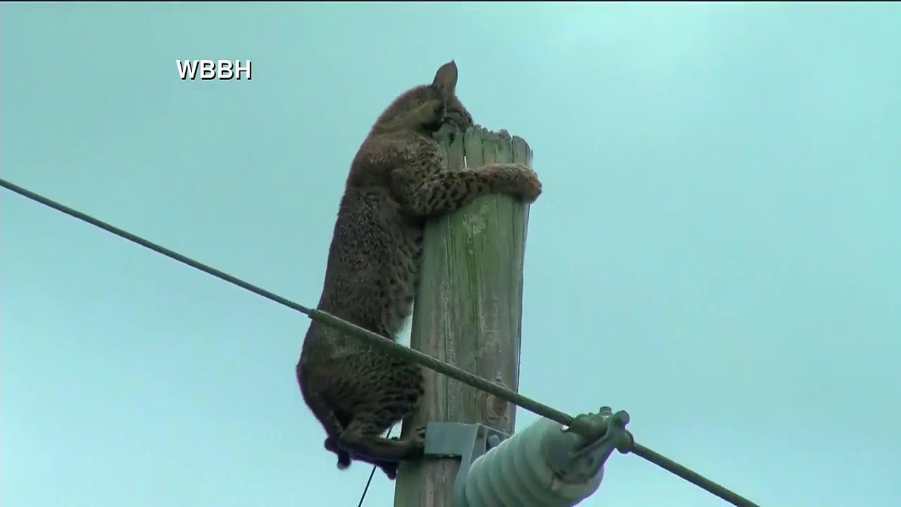 Bobcat seen sitting on pole along Florida interstate