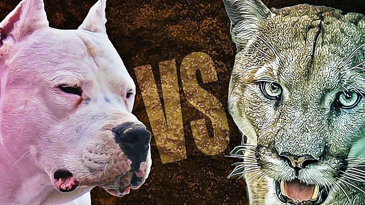PERRO VS PUMA - ¿Realmente Puede un Perro contra un Puma?