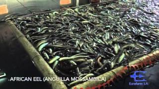 Eurofarm S.A. - Eel Aquacultures