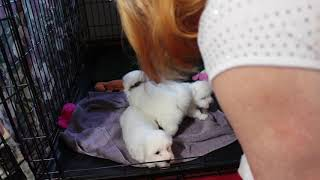 Coton de Tulear Puppies For Sale 2/26/20