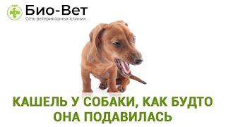 Кашель у собаки, как будто она подавилась. Ветеринарная клиника Био-Вет.