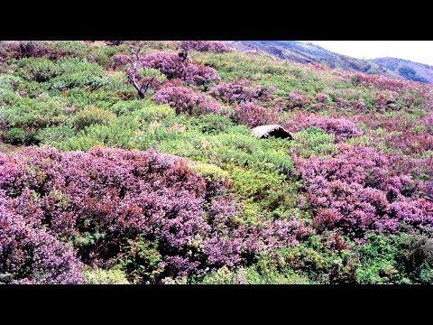 Neelakurinji - the wonder bloom of Kerala