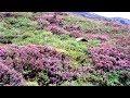 Neelakurinji flowers in Munnar Kerala
