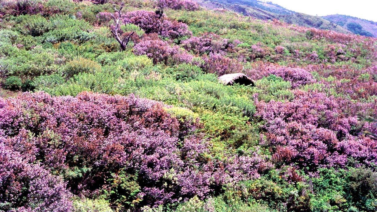 Neelakurinji Flowers In Munnar Next Season August 2018 October