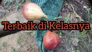 Review Pohon Tin Merah Yang Berbuah Lebat - BTM6
