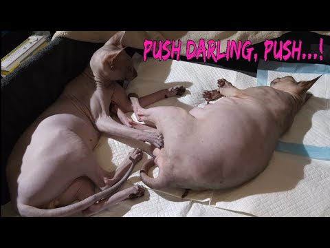 Heart touching moments, sphynx cats waiting to give a birth / DonSphynx /
