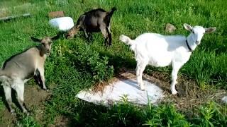 Козлята и абиссинская кысь