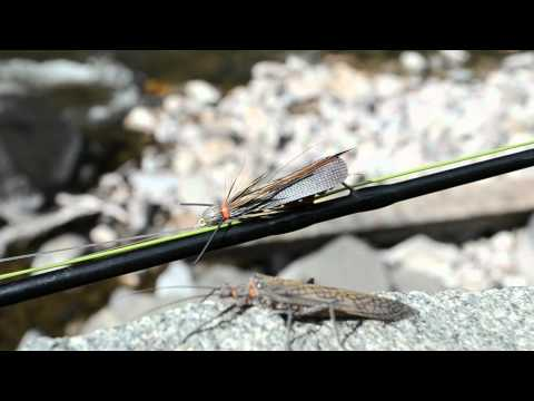 Colorado River Stonefly Hatch