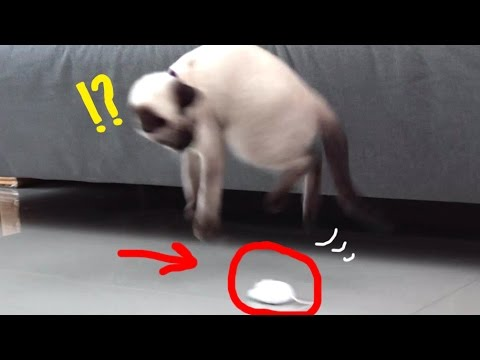 SIAMESE CAT W/ FIRST TIME MOUSE ROBOT!!