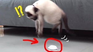 siamese-cat-w-first-time-mouse-robot