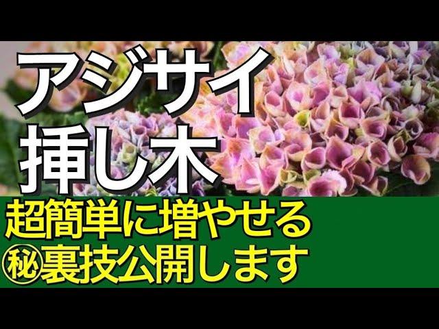 て 教え の を ください 仕方 紫陽花 挿し木 の