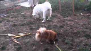 Samoyed And Pomeranian In Action
