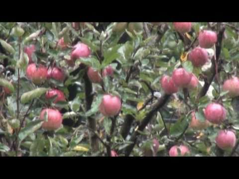Apple Trees In Hotel Rohtang Manalsuu0027s Garden, Manali   YouTube