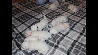 Coton de Tulear Puppies For Sale  - Mika 7/13/21