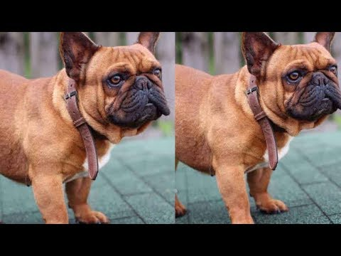 Import Line French Bulldog Puppies For Sale