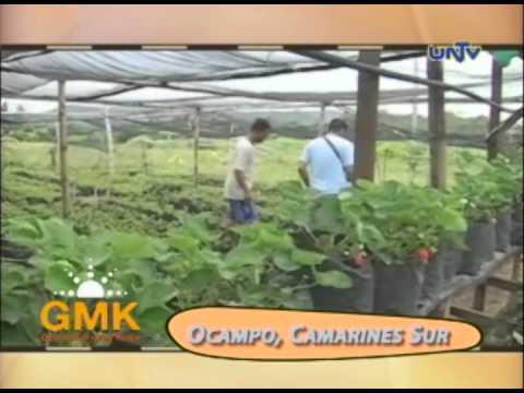 Growing Strawberries in Camarines Sur