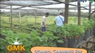 Growing Strawberries in Camarines Sur