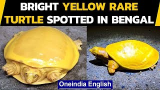 Bright yellow rare turtle spotted in West Bengal, What makes a turtle yellow | Oneindia News