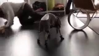 Купил собаке ботинки