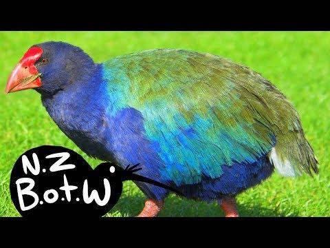 Takahe - New Zealand Bird Of The Week