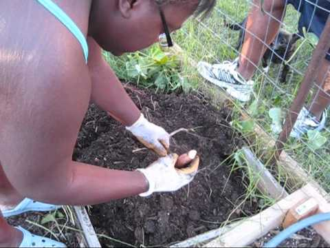 Sweet Potato Harvest - Video | JennifersKitchen