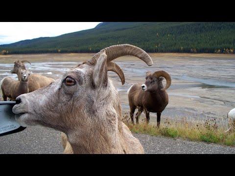 Amazing Jasper, Alberta: Tour of Jasper National Park, Canada