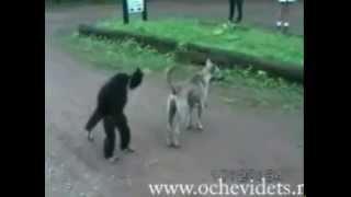 Обезьяна дразнит собаку
