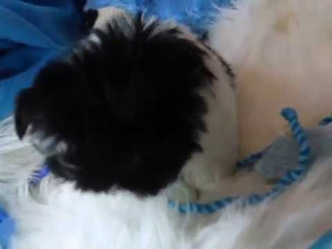 SHIH TZU PUPPIES FOR SALE, Find the perfect Shih Tzu puppy for sale www.shihtzusforever.com