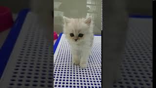 목동고양이분양 페르시안친칠라분양 오케이독목동점