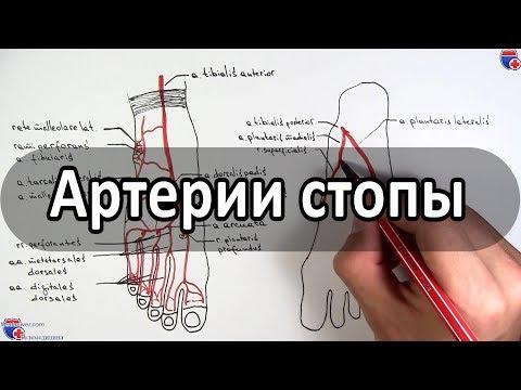 Артерии стопы (кровоснабжение стопы) - meduniver.com