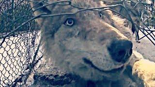 Волк дал мне лапу в конце видео. Беловежская пуща.