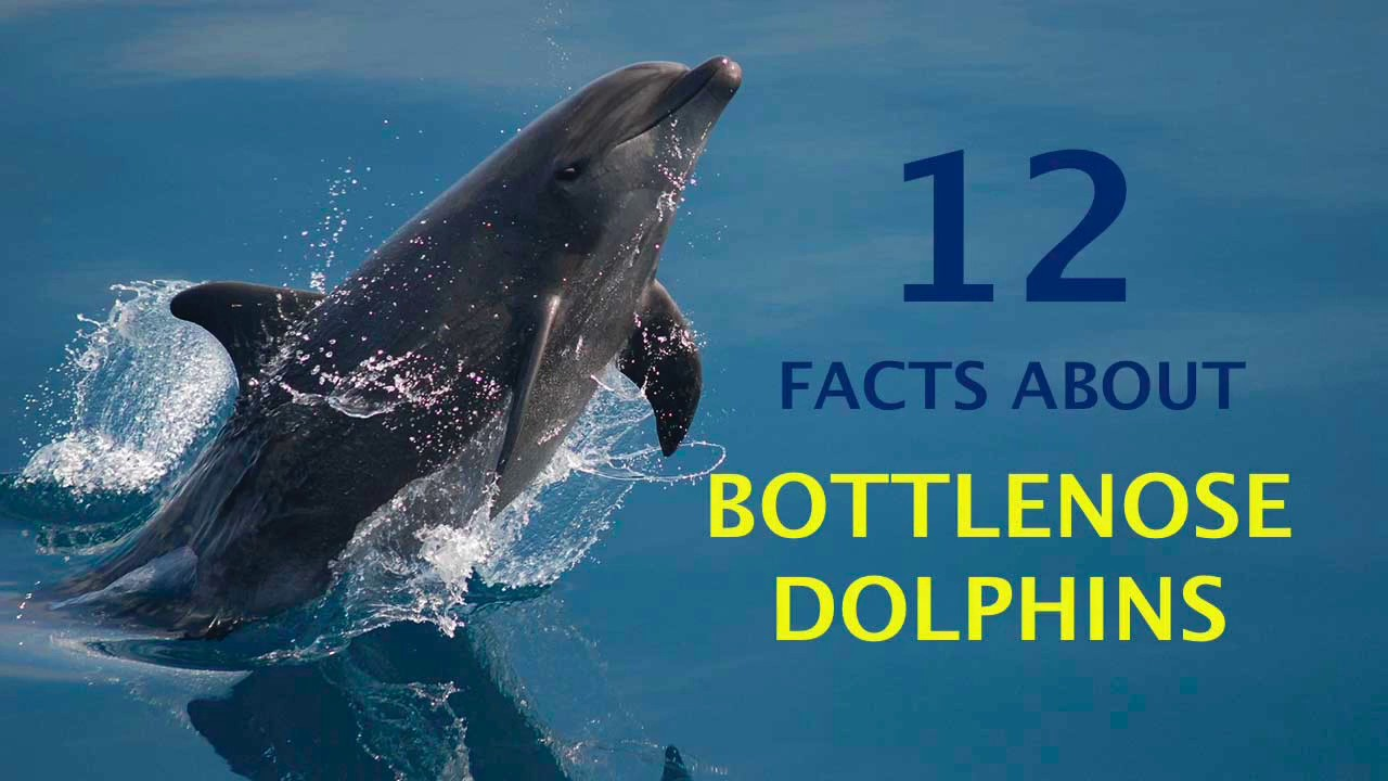 12 Amazing Facts About Bottlenose Dolphins - YouTube