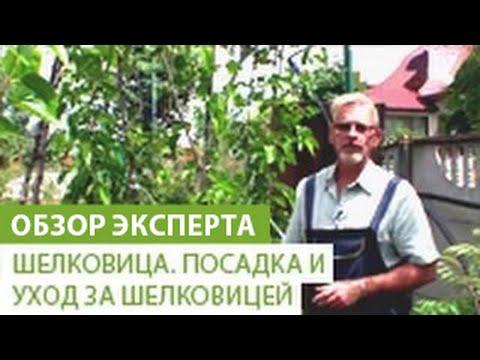 Вопрос: Как правильно сажать дерево, поливать лунку до посадки или после?