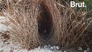 Ces oiseaux construisent les nids les plus complexes au monde