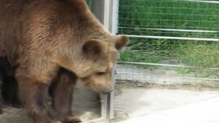 "Медведь танцует под ""Modern talking"""