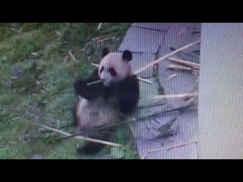 Wolong National Nature Reserve - Ninja panda.