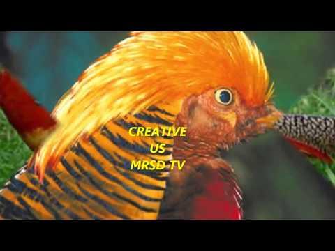World Most Beautiful Golden Pheasant Birds! Top 37 Beautiful Golden Pheasant Birds In The World #37