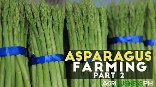 Aparagus Farming Part 2 : Aparagus Farming, Harvesting and Post Harvest   Agribusiness Philippines