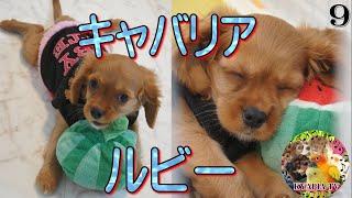 キャバリアキングチャールズスパニエル、ルビーの子犬、赤ちゃん時代。 ...