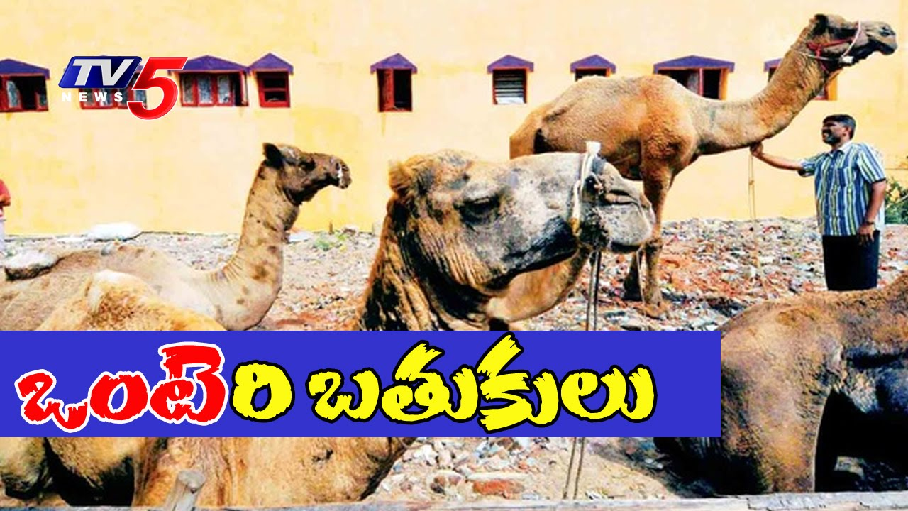Special Focus On Camels Camel Herders Life In Hyderabad Tv5 News