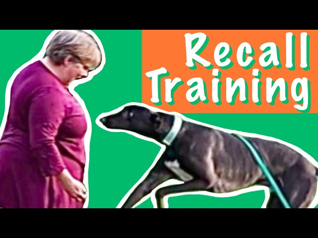 Recall training for retired Greyhounds