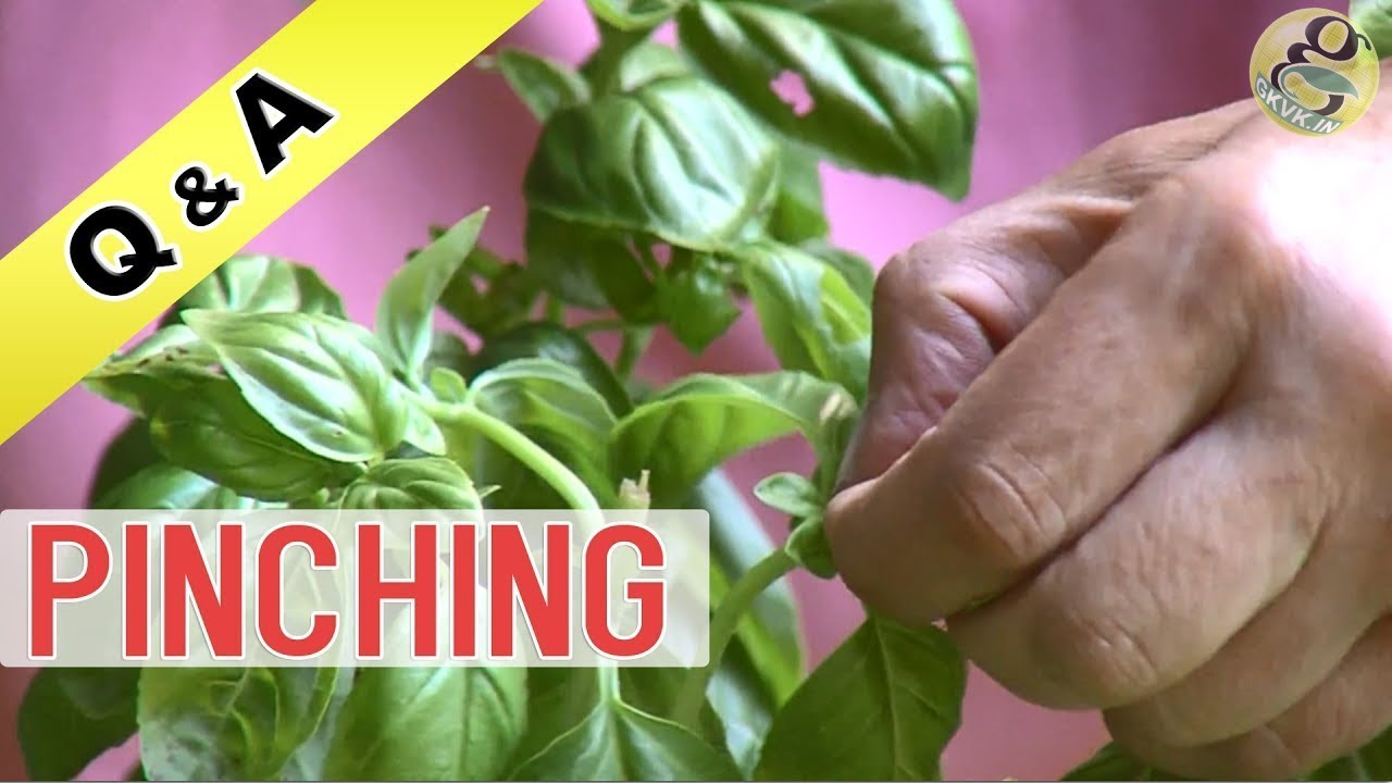 WHAT IS PINCHING IN GARDENING | Pinching For Plants | Benefits   How To  Make Plant Bushy