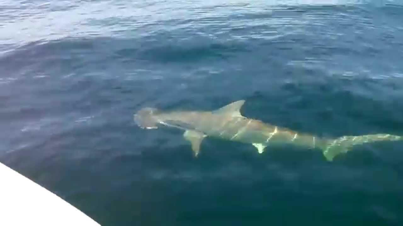 Sharks Sanibel Island