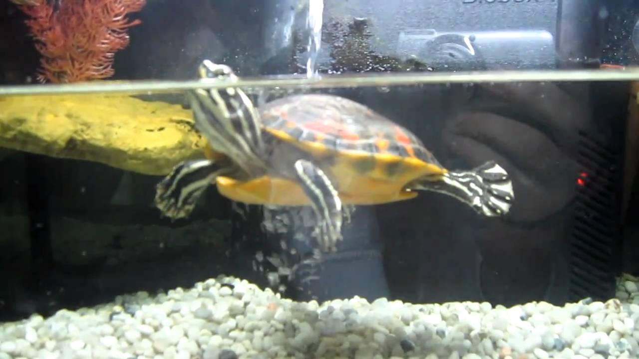 Acuaterrario para tortugas de agua youtube for Acuario tortugas