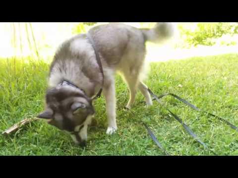 Mini Husky rolls on grass