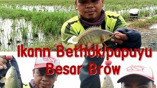 Mancing Diserbu Ikan betok/papuyu Besarrrr