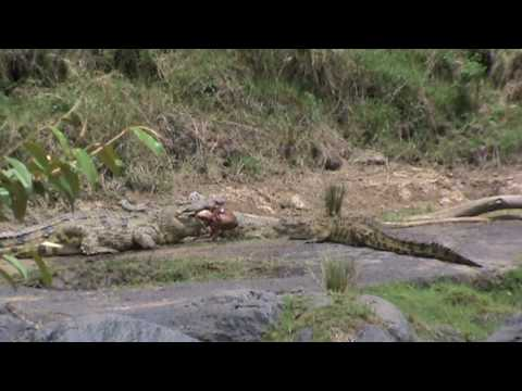 Croc Eating a Thompson Gazelle
