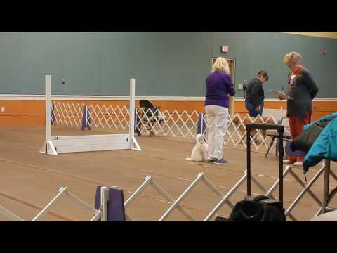 Toy Poodle Pop-Tart   AKC Utility Obedience Trial 1-18-2017   Harlequin Dachshunds